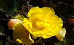 Kwiaty doniczkowe i rabatowe. Poznaj najpiękniejsze odmiany begonii