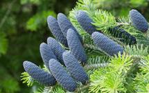 Choinkowy QUIZ przedświąteczny. Czy znasz się na drzewach iglastych?