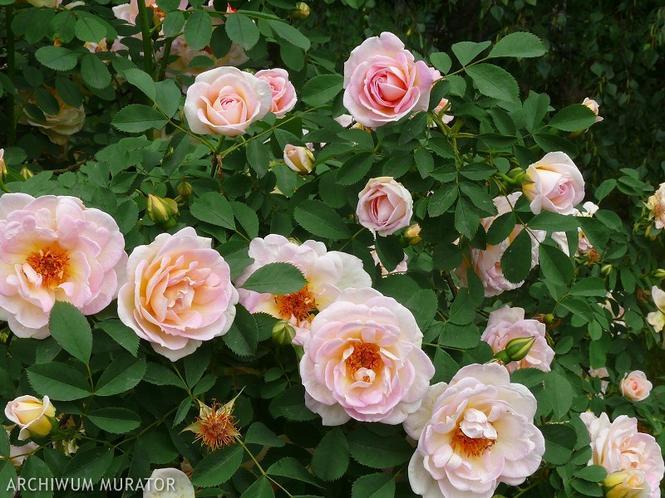 Roża odmiany Fruhlingsduft