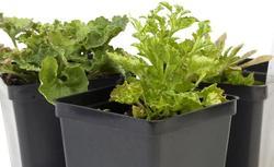 Jak zrobić sadzonki roślin balkonowych. Rozmnażanie fuksji, pelargonii, lantany
